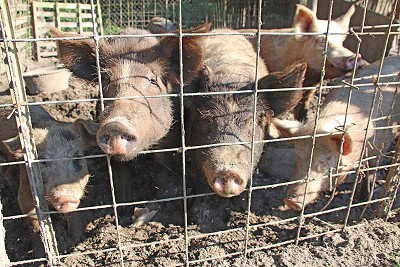The number of pigs a farmer could raise would be limited to four if a proposed ordinance passes in the Town of Tull.  Photo by Byron Tate